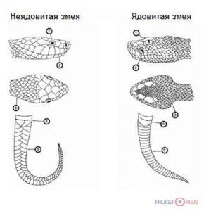 как отличить неядовитую змею от ядовитой